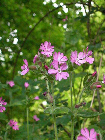 Red Campion - Silene dioica.  Image: Brian Pitkin
