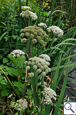 Wild Angelica - Angelica sylvestris. Image: © Brian Pitkin