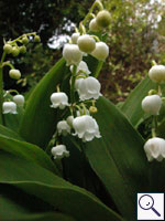 Lily-of-the valley - Convallaria majalis