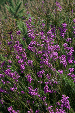 Bell Heather - Erica cinerea. Image: © Linda Pitkin