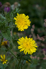 Bristly Oxtongue - Helminthotheca echioides. Image: © Linda Pitkin