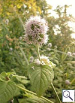 Water Mint - Mentha arvensis. Image: © Brian Pitkin