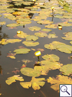 Yellow Water-lily - Nuphar lutea. Image: © Brian Pitkin