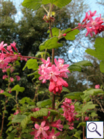 Flowering Currant - Ribes sanguineum. Image: © Brian Pitkin