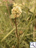 Great Burnet - Sanguisorba officnalis. Image: © Brian Pitkin
