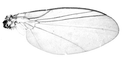 Wing of Chromatomyia horticola