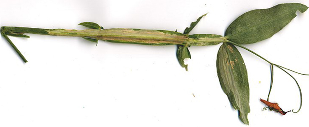Mine of Agromyza varicornis on Lathyrus latifolius. Image: Colin Plant (British leafminers)