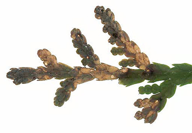 Mines of Argyresthia trifasciata on Thuja occidentalis Image: © Willem Ellis (Bladmineerders en plantengallen van Europa)