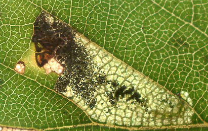 Mine of Ectoedemia minimella on Betula pubescens Image: © Willem Ellis (Bladmineerders en plantengallen van Europa)
