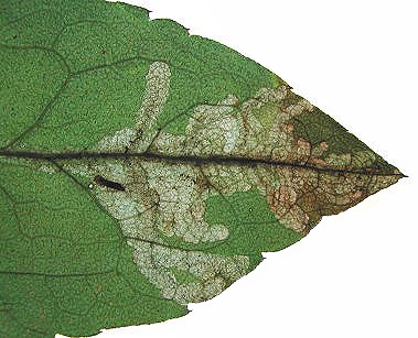 Mine of Pegomya nigrisquama Image: Rob Edmunds (British leafminers)
