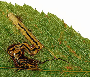 Mine of Stigmella carpinells